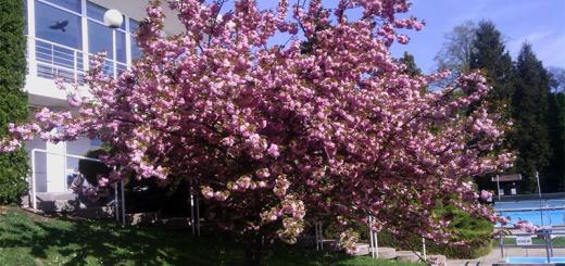 cseresznyefa-nagy