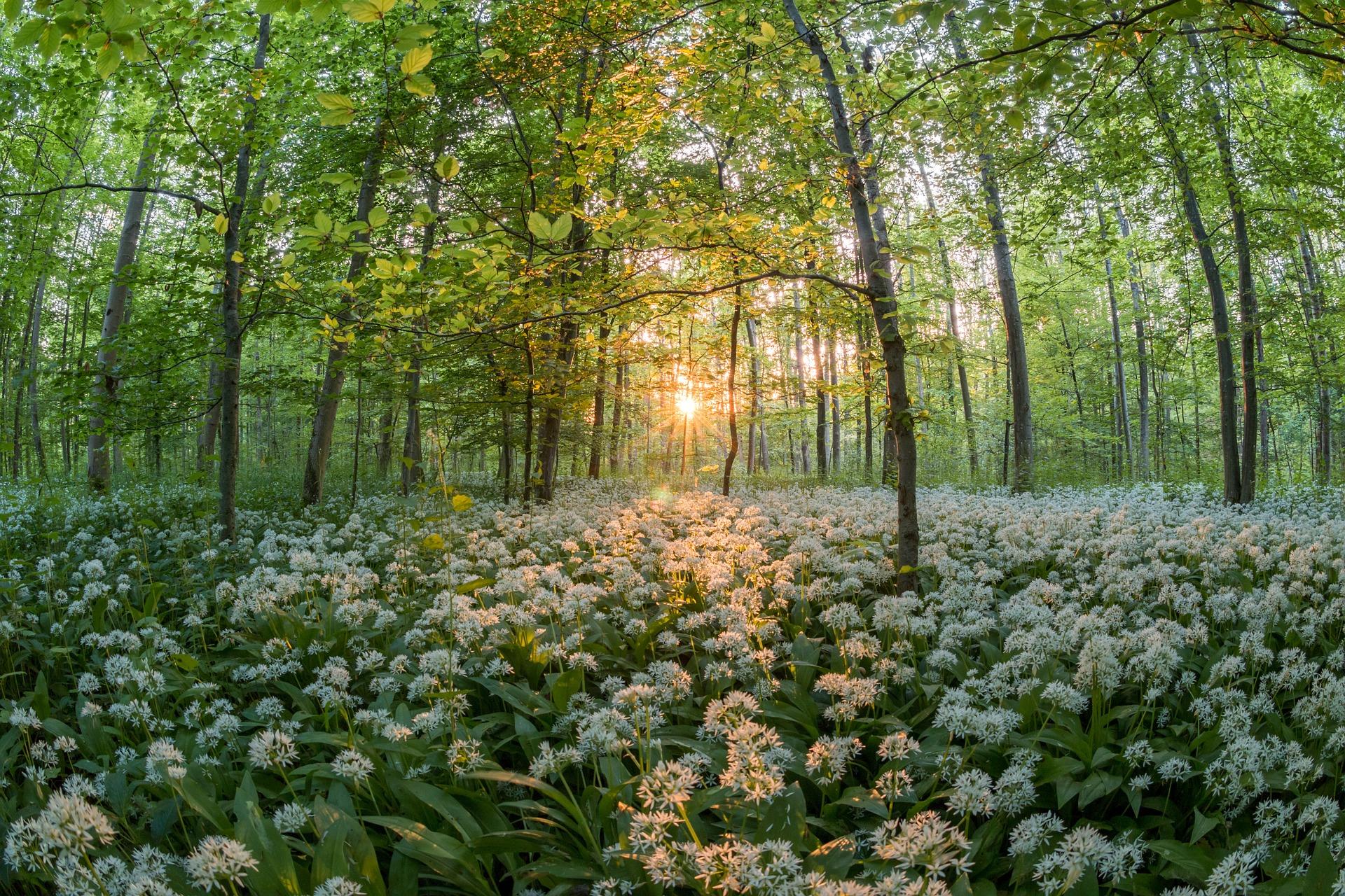 virágzó medvehagyma rét az erdőben