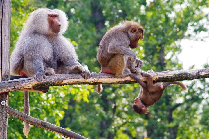 Győri Állatkert majmok