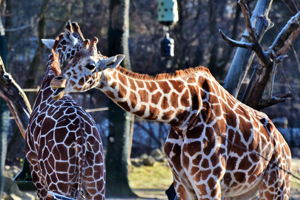 zsiráf a győri Xantus János Állatkertben