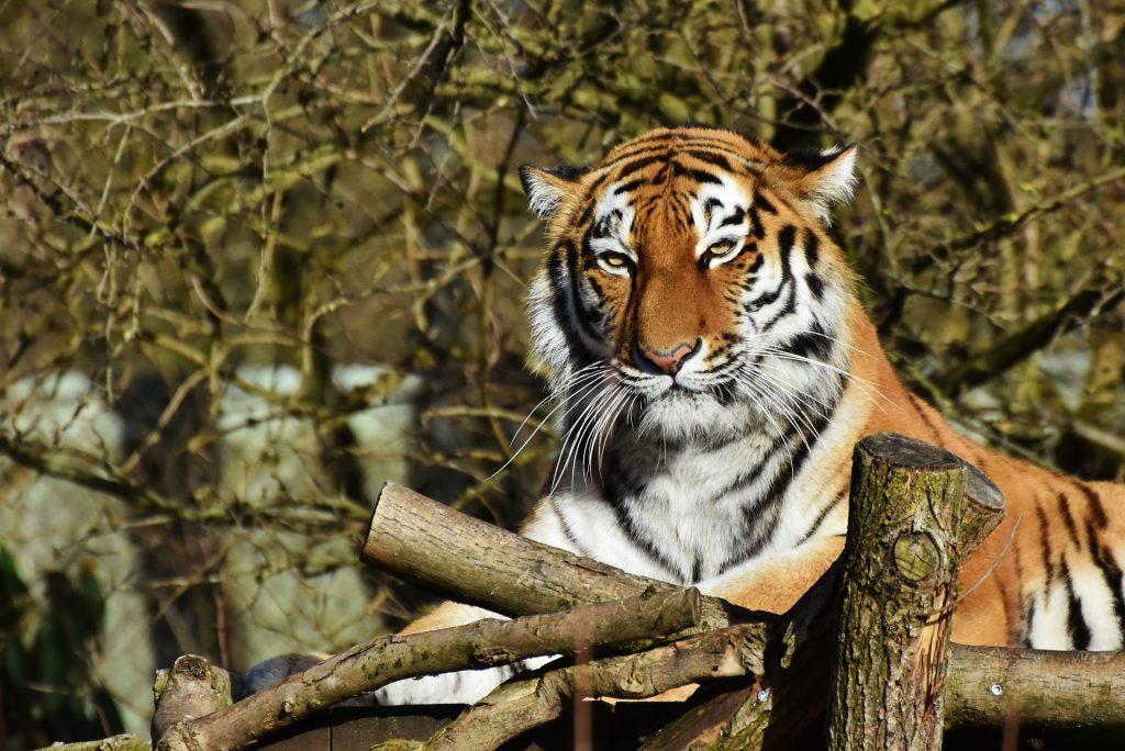 Tigris a fővárosi állatkertben
