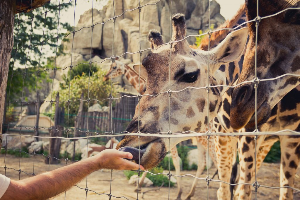 zsiráf etetés az állatkertben